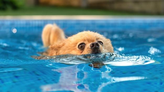 수영장에서 수영하는 포메라니안