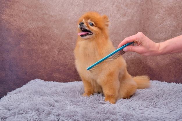 ポメラニアン。ヘアカットと犬の世話の促進の概念