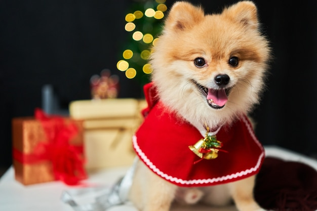 Pomeranian with a rim of a deer horn cap near the christmas tree and  box of gift.