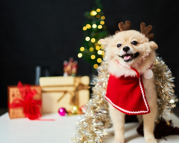 Pomeranian with a rim of a deer horn cap near the christmas tree and a gift