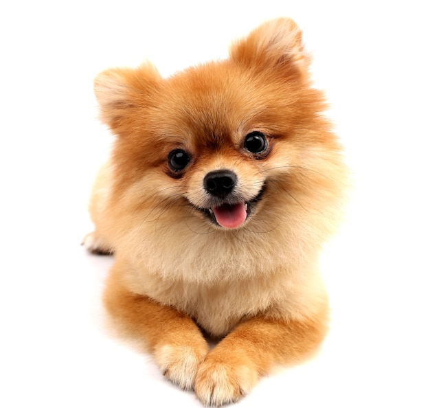 Pomeranian with white backdrop.