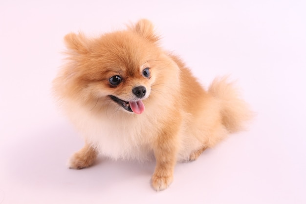 Pomeranian with a white backdrop.
