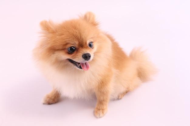 Pomeranian with a white backdrop.