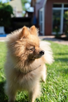 Pomeranian with yellow fur on the grass looking on the right