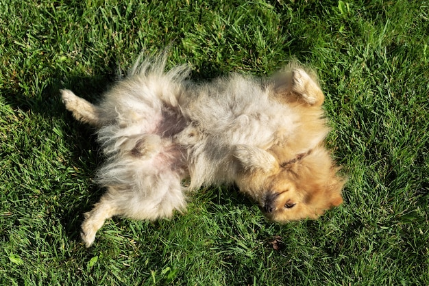 Pomeranian with yellow fur lying on the grass on it's back