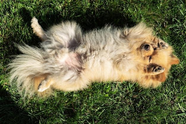 노란색 모피가 잔디에 누워있는 포메라니안