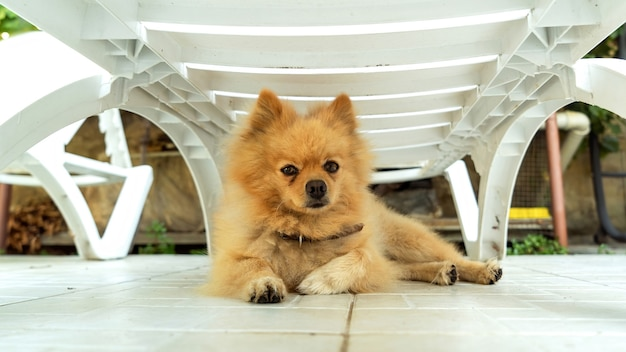Pomeranian with yellow fur lying under the sun lounger