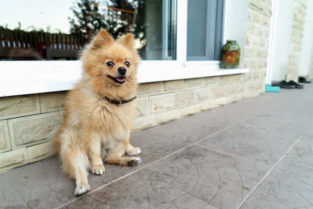 Pomeranian with yellow fur sitting near the dwelling house