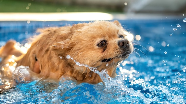 Pomeranian with yellow fur swimming in a pool