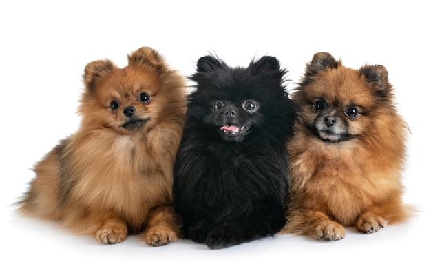 Pomeranians in studio