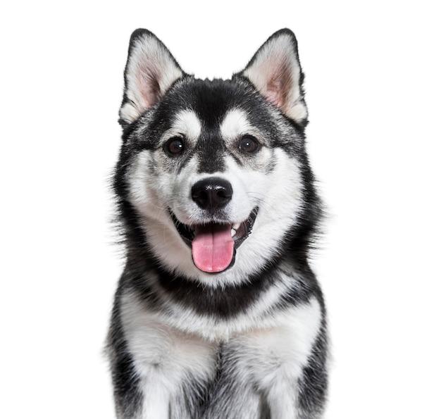 Помская собака тяжело дышит на белой поверхности