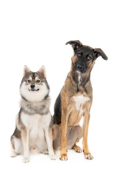 Помский собака сидит рядом с португальской помесной собакой, изолированной на белом, оба смотрят в камеру