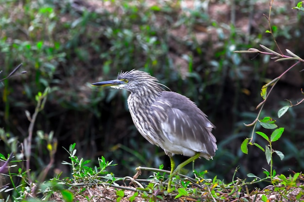 A pond heron in its natural habitat