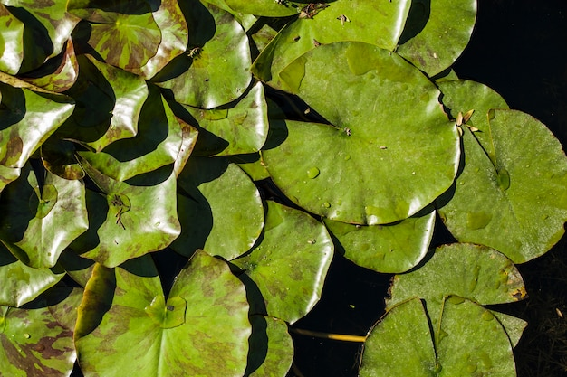 Pond with green leaves