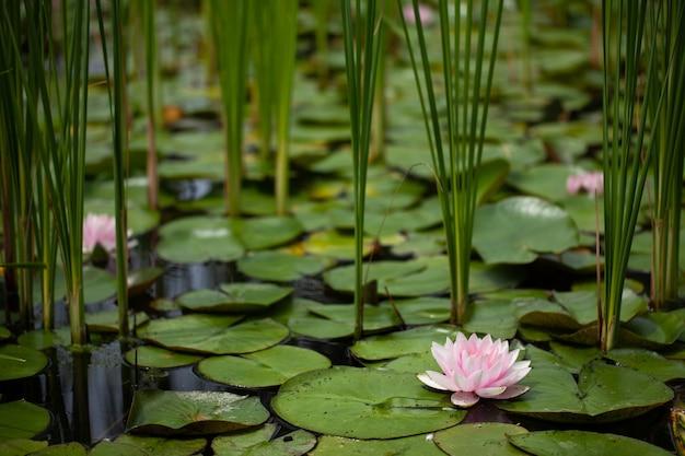 ユリと睡蓮の池。美しい柔らかい背景