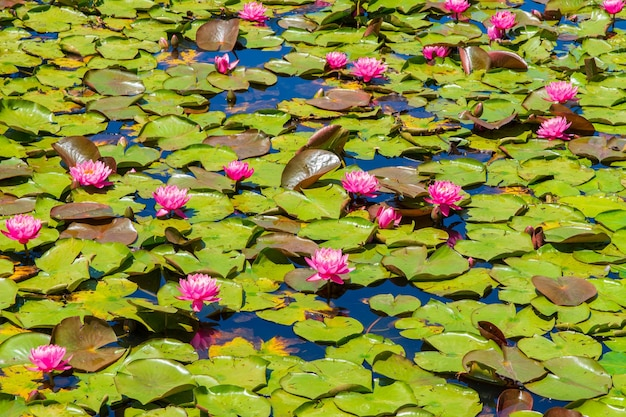 Pond with pink sacred lotus flowers and green leaves