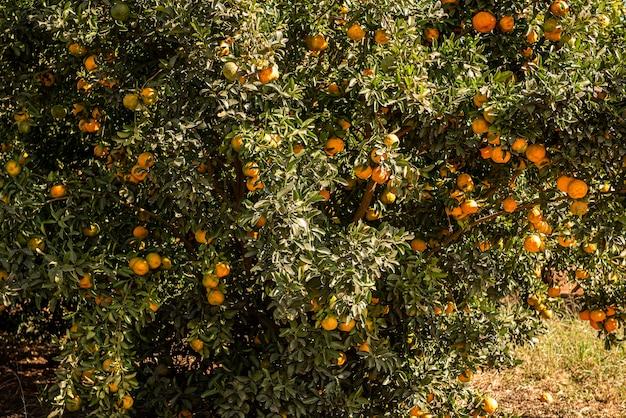 귤의 일종 인 폰칸. 나무 사진, 농장.
