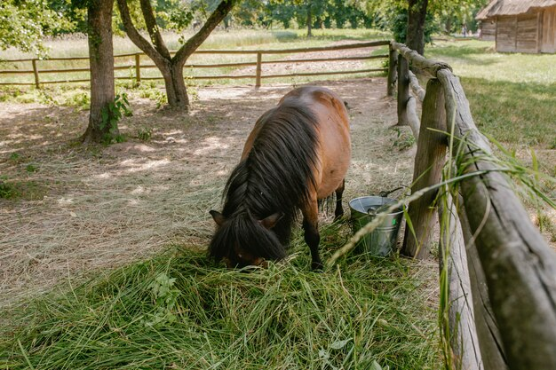 Pony eats hay in the paddock
