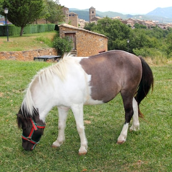 Pony horse grazing meadow in ainsa pyrenees