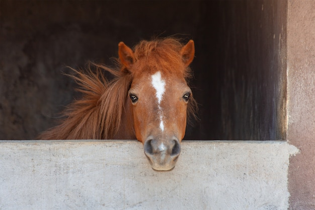 Pony horse stands in a paddock with a concrete wall, north of bali, close-up.