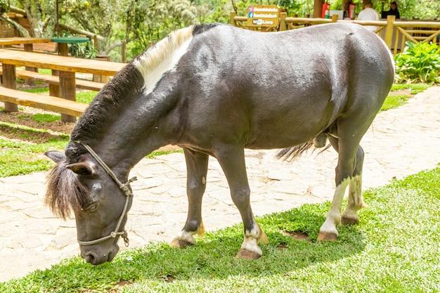 ポニーは農場を自由に歩き、草を食べます。