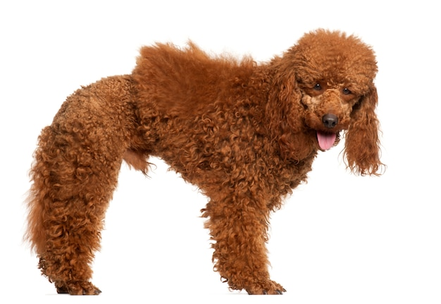 Poodle, 1 year old, standing
