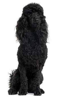Poodle, 18 months old, sitting in front