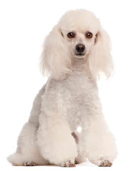 Poodle, 2 years old, sitting