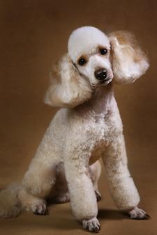 Poodle dog on brown background