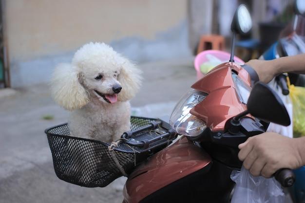 オートバイのバスケットに犬をプードル。