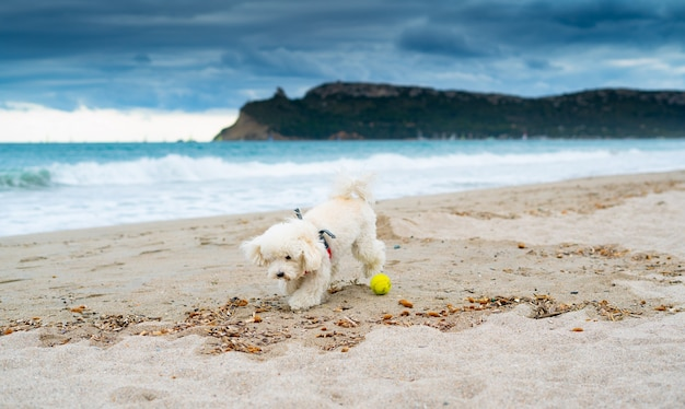Poodle dog playing at the beach with a yellow ball