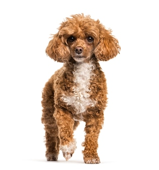 Poodle dog standing, cut out