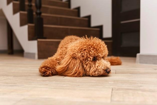 明るい床に横たわっている小さな赤いかわいい子犬をプードル