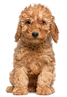 Poodle puppy, 2 months old, sitting