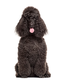 Poodle sitting in front of a white wall
