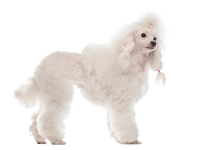 Poodle standing and looking away