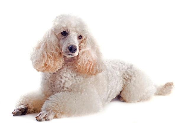 Poodle on white