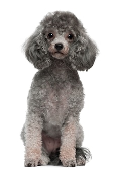 Poodle with 4 years old. dog portrait isolated