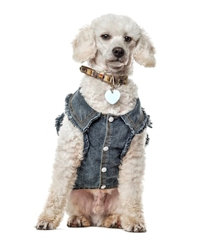 Poodle with jeans jacket sitting, isolated on white