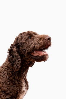 Poodle with open mouth