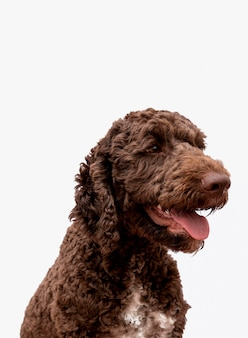 Poodle with tongue out