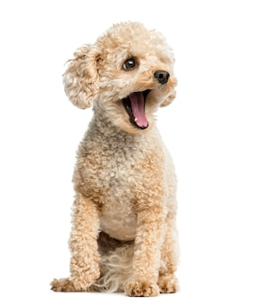 Poodle yawning in front of a white wall
