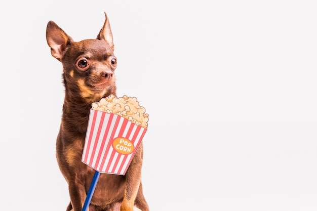 Popcorn prop in front of russian toy dog isolated over white background