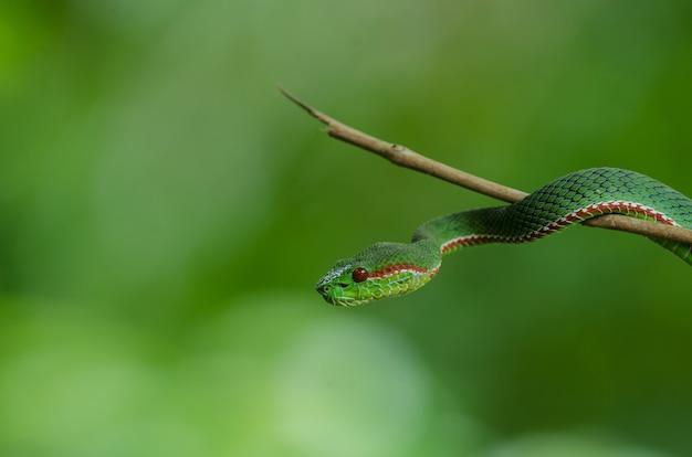Pope's green pitviper snake