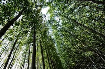 Poplar Forest in Fuente Vaqueros, Granada, Andalusia, Spain