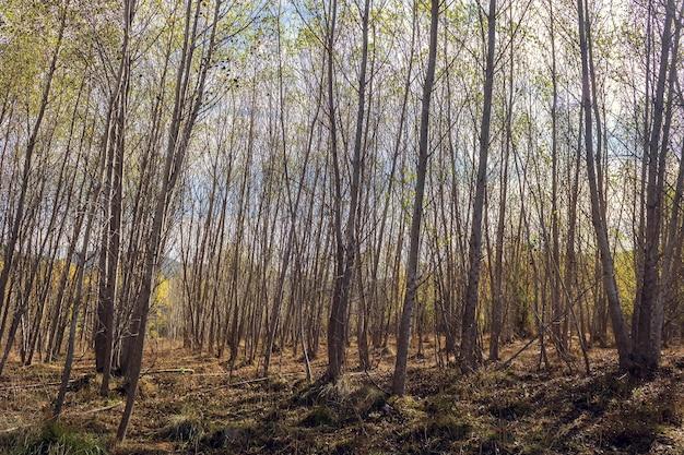 スペイン、アリカンテのセルピス川近くの冬に葉のないポプラの森。