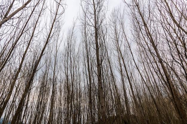 セルピス川の近くの冬に葉のないポプラの森。