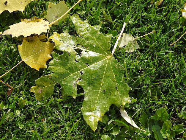 ポプラは雨の後に地面に葉