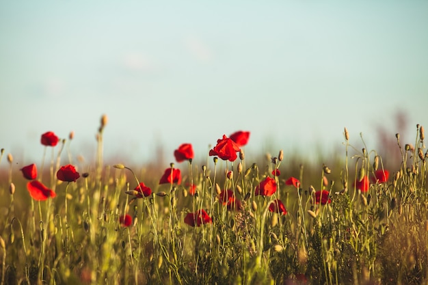 Poppies field over blue sky with clouds