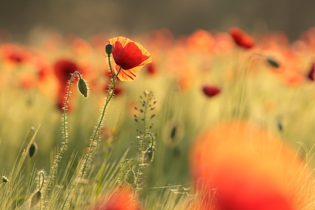 Poppies in the field on a  spring morning